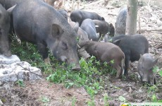 Mô hình nuôi lợn rừng thả núi