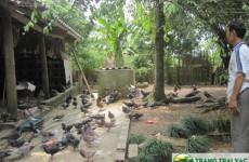 Mô hình nuôi bồ câu thả vườn