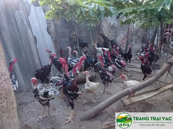 mô hình nuôi gà chọi thả vườn