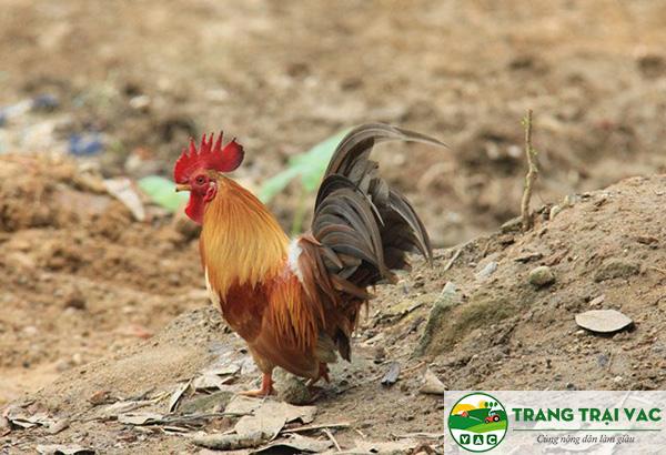 mô hình nuôi gà rừng thả núi