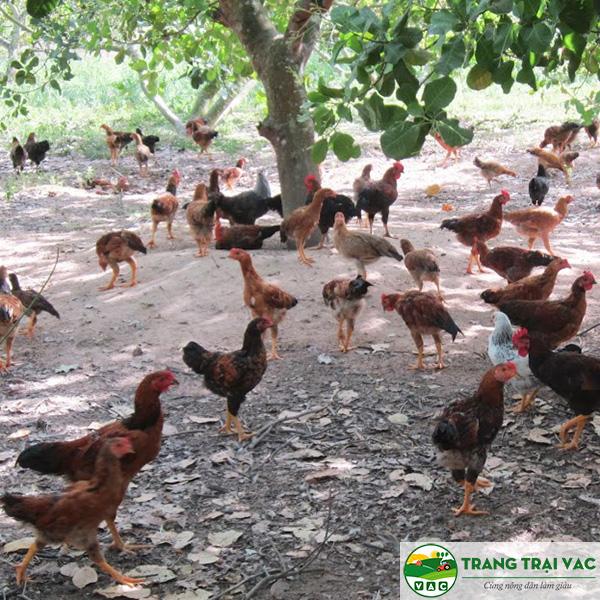 mô hình nuôi gà ta gà ri thả vườn