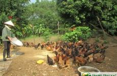 Mô hình nuôi gà ri - gà ta thả vườn
