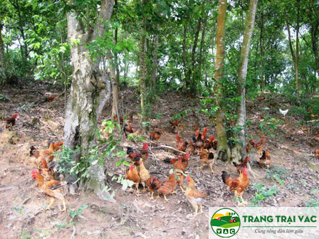 mô hình nuôi gà thả đồi