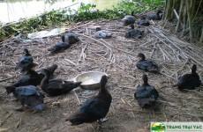 Mô hình nuôi ngan đen thả vườn