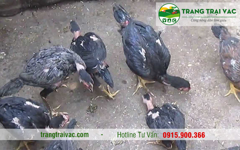 bán thịt gà chọi tại hà nội