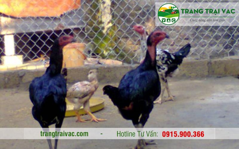 gà chọi thịt tại Hà Nội