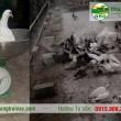 Trọng lương chim bồ câu